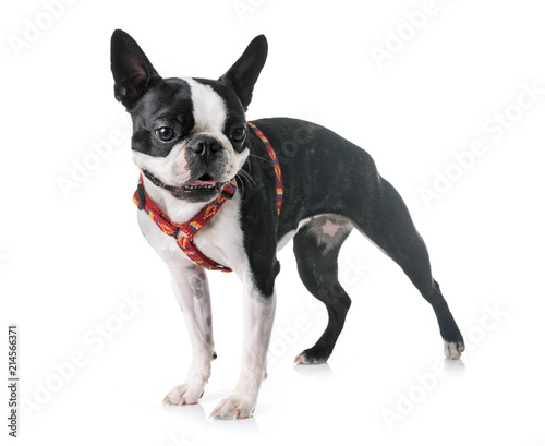 Canvas Franse bulldog boston terrier in studio