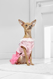 Full length portrait of dressed Chihuahua in the white room. Front view of the tiny dog in a pink dress. The adorable pet sitting on the floor on the rug in the hallway, looking up, ready to go out.