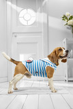 Full length portrait of dressed Beagle in the white room. Side view of the dog in a sailor suit. The adorable pet standing on the floor on the rug in the hallway, looking up, ready to go out.