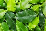 green bay leaf background fills the frame - 214587163