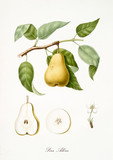 Pear, also known as Allora pear, pear tree leaves, fruit section and flower isolated on white background. Old botanical detailed illustration by Giorgio Gallesio publ. 1817, 1839 Pisa Italy - 214588198