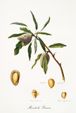 Almond, also known as premice almond, almond tree leaves and fruit section with kernel isolated on white background. Old botanical detailed illustration by Giorgio Gallesio publ. 1817, 1839 Pisa Italy - 214588305