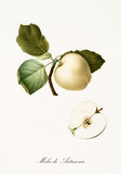 Apple, also known as astrakhan apple, apple tree leaves and fruit section with kernel isolated on white background. Old botanical detailed illustration by Giorgio Gallesio publ. 1817, 1839 Pisa Italy - 214588308