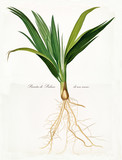 Date palm seedling, seed and roots isolated on white background. Old botanical illustration realized in a detailed watercolor style by Giorgio Gallesio on 1817, 1839 Pisa Italy - 214588315