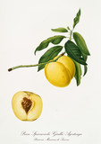 Yellow apple shaped peach on its branch with leaves. Isolated fruit section on white background. Old botanical illustration realized with a detailed watercolor by Giorgio Gallesio on 1817, 1839 Italy - 214588350