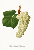 Isolated single branch of white grapes and vine leaf on white background. Old botanical illustration realized with a detailed watercolor by Giorgio Gallesio on 1817, 1839 Italy - 214588365