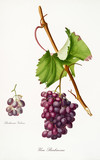 Isolated single branch of red grapes, called Barbarossa grapes, and vine leaf on white background. Old botanical illustration realized with a detailed watercolor by Giorgio Gallesio on 1817,1839 Italy - 214588367