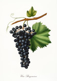 Isolated single branch of dark grapes, called Berzemina grapes, and vine leaf on white background. Old botanical illustration realized with a detailed watercolor by Giorgio Gallesio on 1817,1839 Italy - 214588373