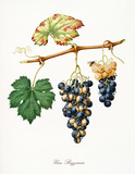 Isolated strange kind of grapes, called Bizzarria grapes, and vine leaf on white background. Old botanical illustration realized with a detailed watercolor by Giorgio Gallesio on 1817,1839 Italy - 214588377