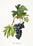 Isolated single branch of red grapes, called Brachetto grapes, and vine leaf on white background. Old botanical illustration realized with a detailed watercolor by Giorgio Gallesio on 1817,1839 Italy - 214588384