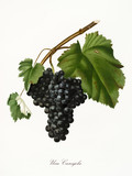 Isolated single branch of red grapes, called Canajola grapes, and vine leaf on white background. Old botanical illustration realized with a detailed watercolor by Giorgio Gallesio on 1817,1839 Italy - 214588385