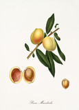 Peach, almond shaped peach, on a single branch with leaves and single section on white background. Old botanical illustration realized with a detailed watercolor by Giorgio Gallesio on 1817, 1839 - 214588513