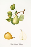 Pear, Butirra Vernina pear, on a single branch with leaves and single section on white background. Old botanical illustration realized with a detailed watercolor by Giorgio Gallesio on 1817, 1839  - 214588518