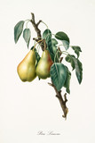 Pear, called lemon pear, on a single branch with leaves isolated on white background. Old botanical illustration realized with a detailed watercolor by Giorgio Gallesio on 1817, 1839 - 214588543