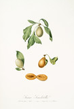 Plums with their leaves on white background and single plum half section. Old botanical illustration realized with a detailed watercolor by Giorgio Gallesio on 1817,1839 Italy - 214588545