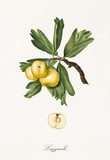 yellow azarole on its branch with leaves and detail of fruit with section isolated on white background. Old botanical illustration realized with a detailed watercolor by Giorgio Gallesio on 1817, 1839 - 214588563