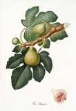 Fig, called queen fig, on a single branch with leaves and section isolated on white background. Old botanical illustration realized with a detailed watercolor by Giorgio Gallesio on 1817, 1839 - 214588577