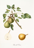 Pear, called pear of the duke, on a single branch with leaves and isolated single pear section on white background. Old botanical illustration realized by Giorgio Gallesio on 1817,1839 - 214588584