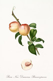 Peach, called walnut peach, on a single branch with leaves and isolated single peach section on white background. Old botanical illustration realized by Giorgio Gallesio on 1817, 1839 - 214588593