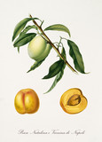 Yellow peach, called Natalina peach, on a single branch with leaves and isolated single peach and its section on white background. Old botanical illustration realized by Giorgio Gallesio on 1817,1839 - 214588596