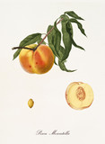 Peach, called moscatella peach, on its single branch with leaves and single fruit section and kernel on white background. Old botanical detailed illustration realized by Giorgio Gallesio on 1817, 1839 - 214588704