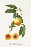 Yellow nectarine Peach on its single branch with leaves and single fruit section with kernel isolated on white background. Old botanical detailed illustration realized by Giorgio Gallesio on 1817,1839 - 214588706
