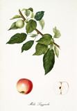 Apple, called Lazzerola apple, on its single branch with leaves and isolated single fruit section on white background. Old botanical detailed illustration realized by Giorgio Gallesio on 1817, 1839 - 214588716