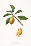 Yellow plum, called buonboccone plum, on single branch with leaves and single peeled fruit isolated on white background. Old botanical detailed illustration realized by Giorgio Gallesio on 1817,1839 - 214588717