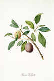 Yellow and brown plum on single little branch with leaves isolated on white background. Old botanical detailed illustration realized by Giorgio Gallesio on 1817, 1839 - 214588728