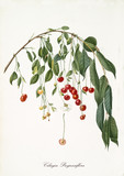 Red cherries hanging from a single bended cherry branch isolated on white background. Old botanical detailed illustration realized by Giorgio Gallesio on 1817, 1839 - 214588731