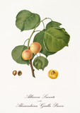 Couple of rounded yellow apricots on single little branch with leaves isolated on white background. Old botanical detailed illustration realized by Giorgio Gallesio on 1817, 1839 - 214588734