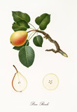 Pear, called royal pear, on its single branch with leaves and isolated single fruit section on white background. Old botanical detailed illustration realized by Giorgio Gallesio on 1817, 1839 - 214588736