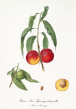 Couple of rounded red peaches on single little branch with leaves and single fruit section with kernel isolated on white background. Old botanical illustration by Giorgio Gallesio on 1817, 1839 - 214588746