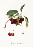 purplish succulents cherries on single little branch with leaves and single fruit section with kernel isolated on white background. Old botanical illustration by Giorgio Gallesio on 1817, 1839 - 214588747