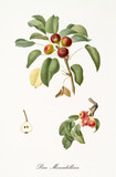 red little sweet pears on their single little branches with leaves and single fruit section with kernel isolated on white background. Old botanical illustration by Giorgio Gallesio on 1817, 1839 - 214588762