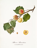 Apricot, called alexandrian apricot, on its single branch with leaves and isolated single fruit section on white background. Old botanical illustration realized by Giorgio Gallesio on 1817, 1839 - 214588764