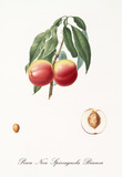 couple of red smooth peaches on single little branch with leaves and single fruit section with kernel isolated on white background. Old botanical illustration by Giorgio Gallesio on 1817, 1839 - 214588772