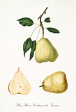 Single green pear with a little part of branch and leaves and isolated fruit section on white background. Old botanical detailed illustration by Giorgio Gallesio on 1817, 1839 - 214588773