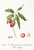 Two little rounded smooth red peaches on single branch and isolated fruit section and kernel. Old botanical detailed illustration by Giorgio Gallesio on 1817, 1839 - 214588786