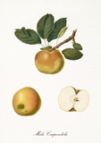 Single yellow brownish apple on part of a single branch and isolated fruit section and kernel on white background. Old botanical detailed illustration by Giorgio Gallesio on 1817, 1839 - 214588789