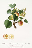 Apricots, called alexandrian apricots, on their single branch with leaves and isolated single fruit section on white background. Old botanical illustration realized by Giorgio Gallesio on 1817, 1839 - 214588795