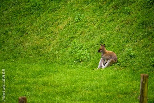 Plexiglas Kangoeroe Kangaroos in zoo Austria Steiermark Herberstein Styria tourist destination Stubenberg am See