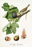 Hybrid dark and white figs on their fig branch with leaves, isolated on white background. Single fruit section beneath the composition. Old botanical illustration by Giorgio Gallesio on 1817, 1839 - 214588917