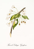 Cherry blossom branch with white flowers hanging from center. Graphic composition is isolated over white background. Old detailed botanical illustration by Giorgio Gallesio published in 1817, 1839 - 214588955