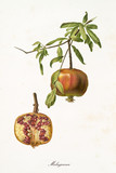 orange pomegranate hanging from its branch and interior section of the fruit. Isolated elements over white background. Old detailed botanical illustration by Giorgio Gallesio published in 1817, 1839 - 214589114