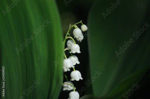 Foto Spatwand Lelietjes van dalen white lily of the valley flower, peeps out of the shade, because of the green leaves