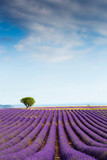 Beautiful landscape of lavender fields at sunset with dramatic sky. - 214591579
