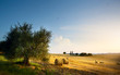 Leinwandbild Motiv Italy. Tuscany farmland and olives tree; summer countryside Landscape .