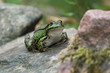 Fat european frog sitting on a rock ready to jump