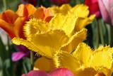 Tulpen - 214630554